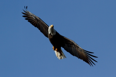 american bald eagle gliding looking for food mid december in idaho Stock Photo - 17044363