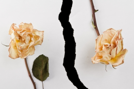 dried up roses and ripped white paper over black photo