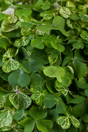 closeup of a bunch of 3 leaf clovers with vivid green color for a background Stock Photo - 18397809