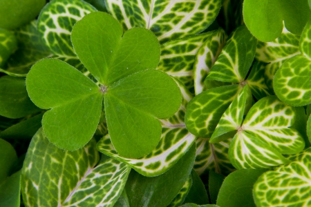 closeup of a bunch of 3 leaf clovers with vivid green color for a background Stock Photo - 18397715