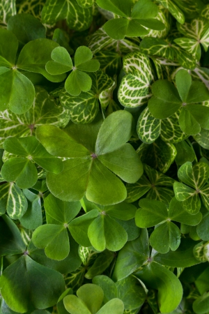closeup of a bunch of 3 leaf clovers with vivid green color for a background Stock Photo - 18397815