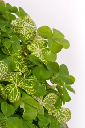 closeup of a bunch of 3 leaf clovers with vivid green color for a background Stock Photo - 18397801