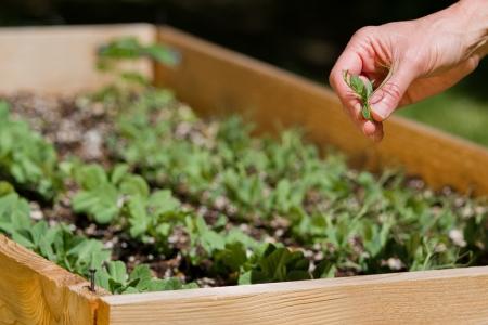완두콩 콩나물을 따기 뒤뜰 여성의 손에 정원 침대를 제기 스톡 콘텐츠
