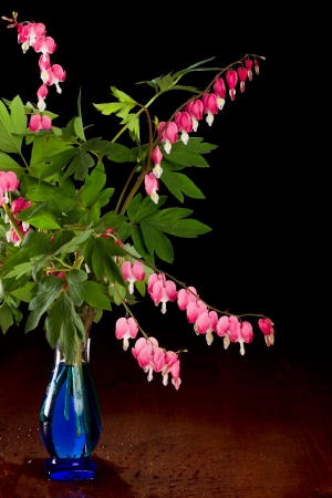 bleeding heart flowers in a blue vase isolated on a black background photo