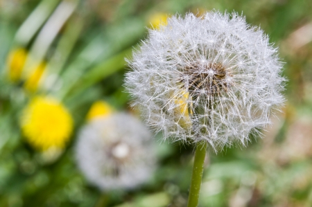 closeup of a dandelion with morning mist with tinny drops on the soft white seeds photo