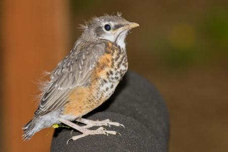 new born baby robin in the back yard photo