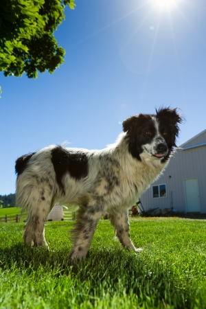 australian cattle dog at the farm ron a bright blue sunny day
