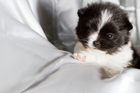 closeup of a four week old baby pomeranian puppy Stock Photo - 20368686