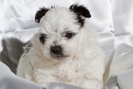 poodle mix: cute five week old pomeranian poodle mix with black ears