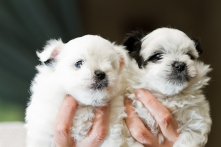 poodle mix: female hands holding five week old pomeranian and poodle puppies Stock Photo