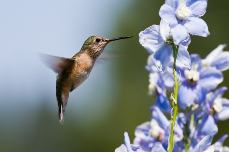 beautiful humming bird feeding on blue delphinium flowers photo