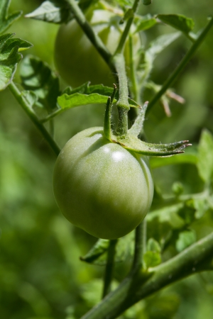 cherry tomato growing in the garden, close up of a single tomato with a shallow dof