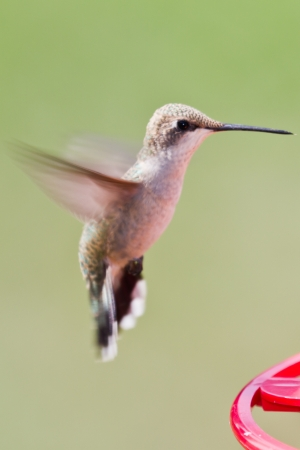 closeup of a small humming bird with a natural green background photo