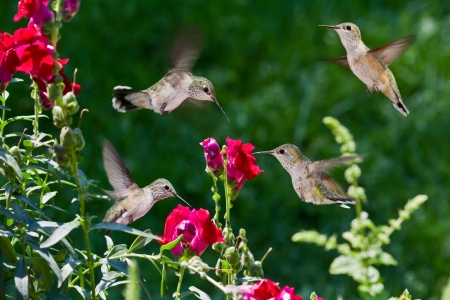 closeup of humming birds flying and feeding on red snap dragons with a green out of focus background