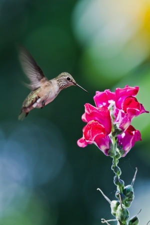 비행 허밍과 초점 배경의 녹색으로 빨간 스냅 드래곤에 먹이 새들의 근접 촬영