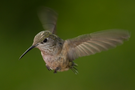 closeup of a small humming bird with a natural green background