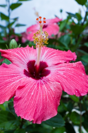 close up of a pink hibiscus bloom with fresh rain drops on its petals
