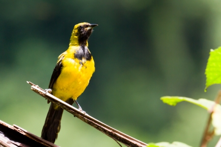 oriole: Yellow Tailed Oriole in the rainforest of Belize
