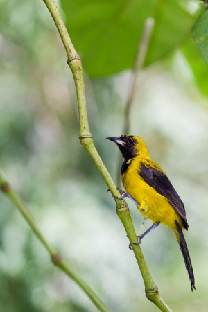 yellow tailed: Yellow Tailed Oriole in the rainforest of Belize