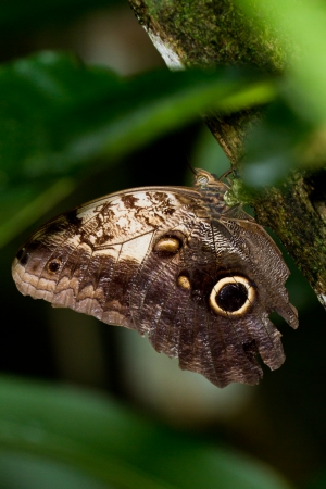 close up of a owl butterfly on a tree in the dense jungle of Belize photo