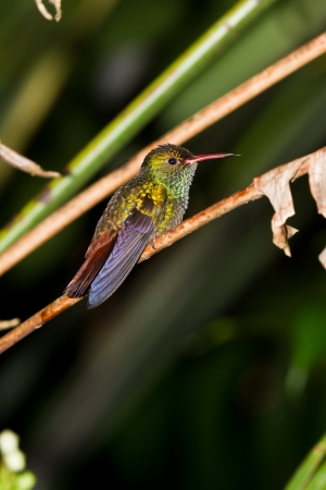 small humming bird perch on a twig in the rainforest of Belize photo