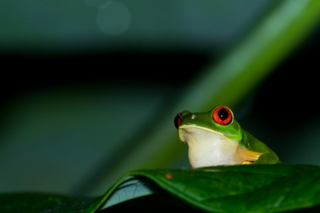 red eyed tree frog at night in the rain forest of Belize calling her mate photo