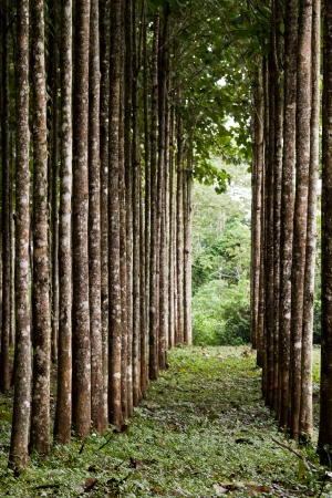 teak plantation in the rainforest of Belize
