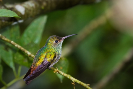 beautiful rufous tailed humming bird in the rainforest of Belize photo