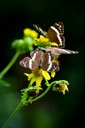 closeup of brown butterflies on flowers in the rainforest of Belize photo