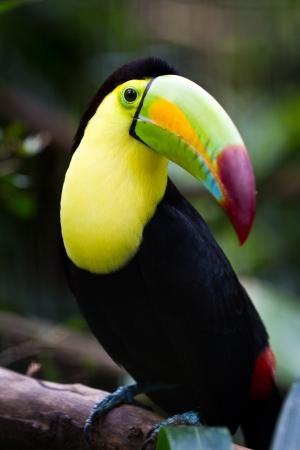 close-up van een kiel billed toekan in het regenwoud van Belize Stockfoto