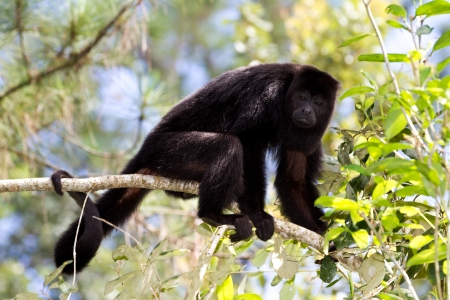 howler: howler monkey in the rain forest of Belize