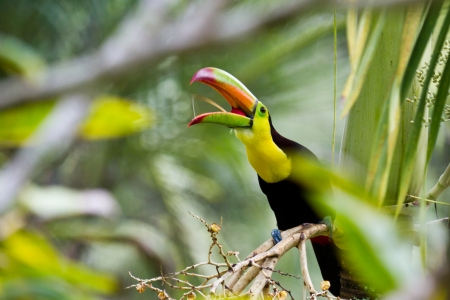 keel: closeup of a keel billed toucan in the rainforest of Belize