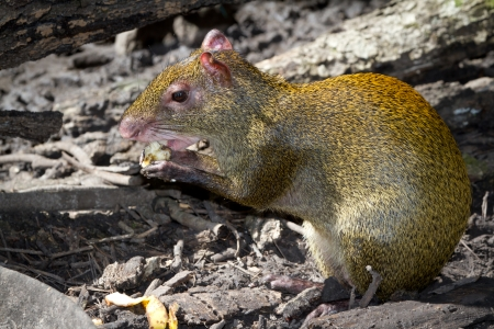 agouti: close up of a golden agouti feeding of fruit in the rain forest of Belize