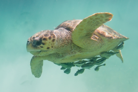 underwater closeup of a loggerhead turtle in the turquoise water of Belize