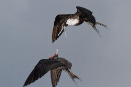 mephoto: frigate birds in flight over a cloudy sky in San Pedro Belize