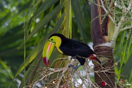 kiel: close-up van een kiel billed toekan in het regenwoud van Belize Stockfoto