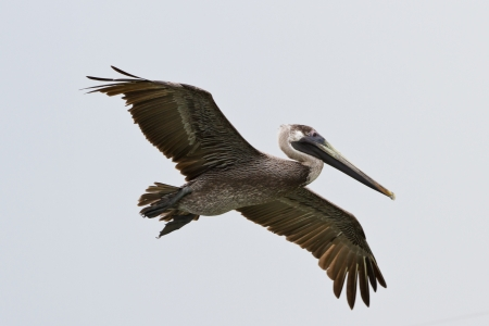 large pelican in flight of the coast of San Pedro, Belize Stock Photo