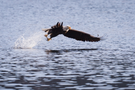 American bald eagle fishing in Coeur d Alene lake, Idaho photo