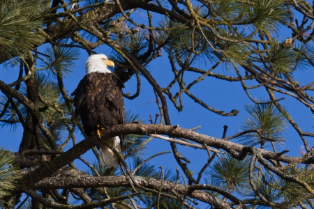 Adult american bald eagle perch on a pine tree in Coeur d Alene, Idaho photo
