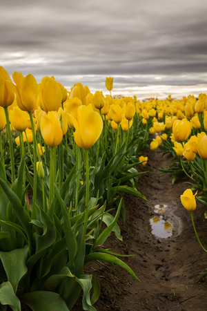 beautiful colorful tulips in a farm in Oregon shot on a beautiful spring day Stock Photo