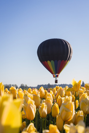 hot air balloon ride over a tulip farm in Oregon on an early spring morning photo