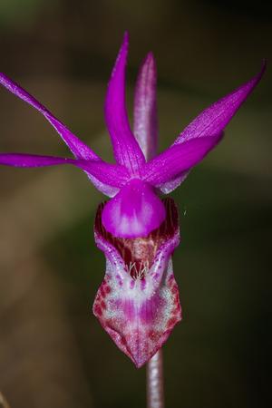 lady s: lady s slipper-Cypripedium reginae un disparo en la primavera en el bosque oregon oscuro Foto de archivo