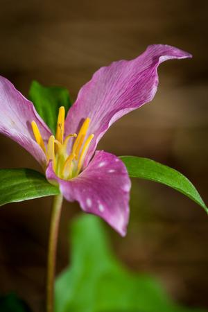 erectum: purple trillium in the dark oregon forest in springtime Stock Photo