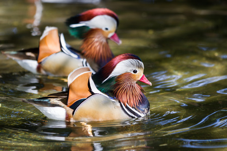 close up of a pair of  mandarin ducks floating in a pond in Oregon