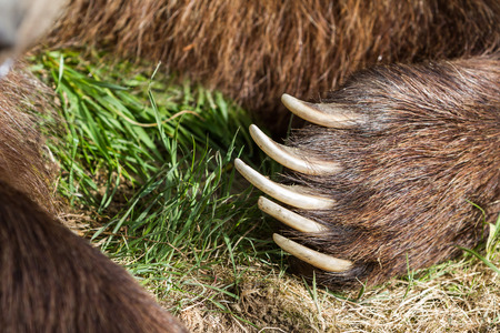 brown bear: closeup of a large bear claw on a brown bear in Oregon