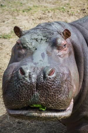 동물원에서 큰 성인 남성 하마의 초상화를 닫습니다 스톡 콘텐츠