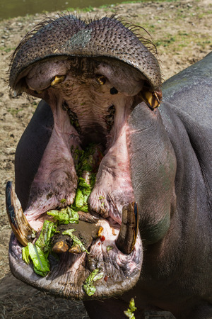 dirty teeth: hippopotamus with large open mouth showing dirty teeth eating lettuce