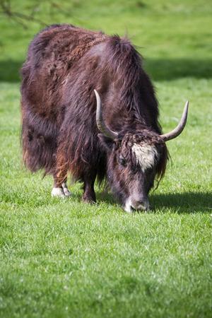 yak feeding on green spring grass mid april in oregon