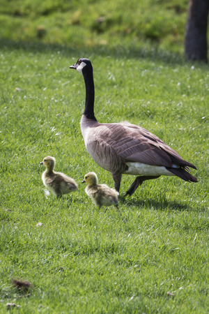 young family of canadian geese walking on the spring grass photo