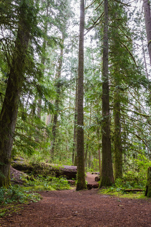 wooded path: hiking path in a wooded area with vivid greens in spring in oregon